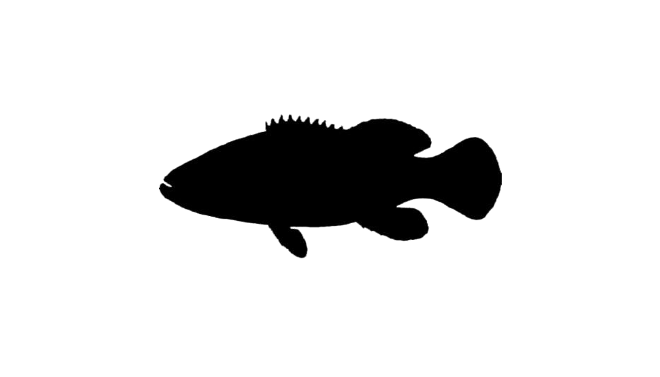 Goliath Grouper Fish Png Background