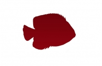 Angelfish Png Clipart