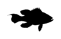 Transparent Cusk Fish Art