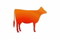 Transparent Dairy Cow Background