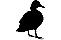 Duck Hd Png Free Transparent Clipart