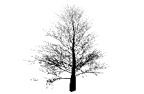 Willow Tree Art Png With Transparent Background